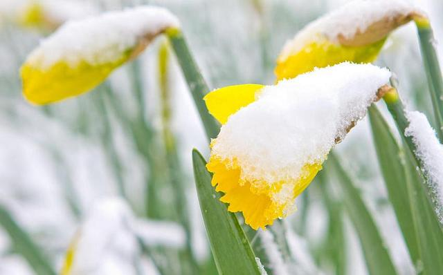 Snow-covered daffodils.